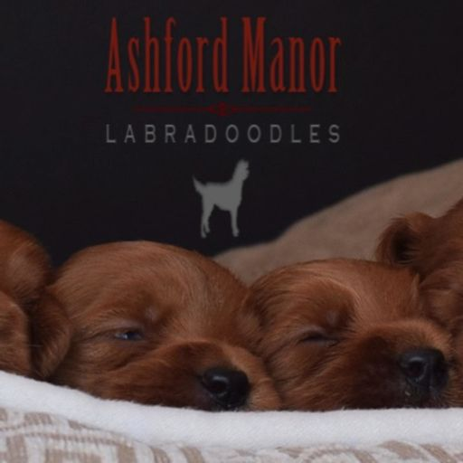 Cover art for podcast Ashford Manor Labradoodles