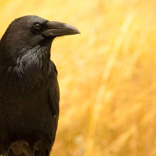 fågel som knarrar